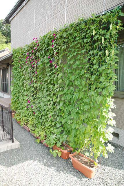 自宅を涼しく♡緑のカーテンがある風景とその効果